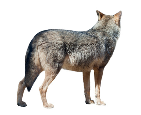 the other side: Wolf turned away to the other side