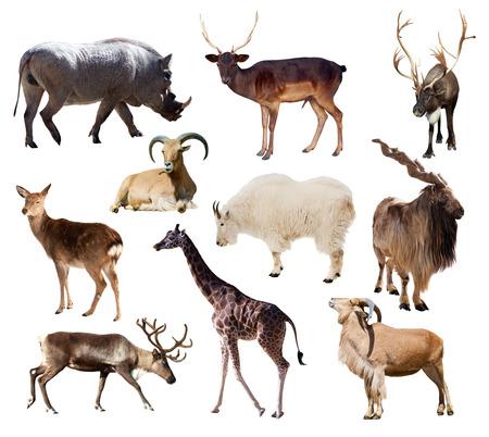 Set of Artiodactyla mammal animals. Ten different animals over white background  photo