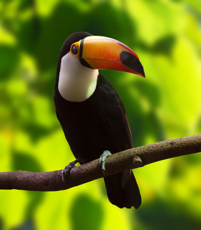 soltería: Toco Toucan (Ramphastos toco) de la superficie forestal