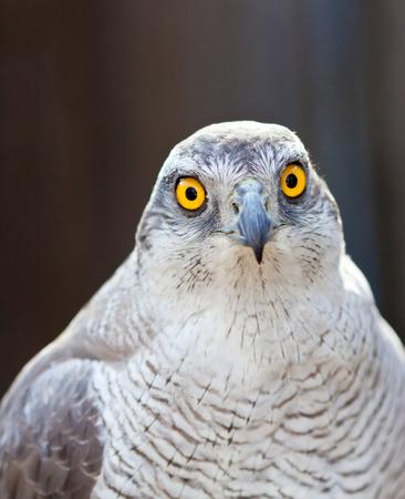 azor: Vista frontal de la cabeza del halc�n azor