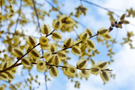 pussy yellow: yellow pussy willow branches in spring nature Stock Photo