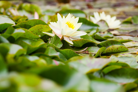nymphaea: Wite water lilies growing in quiet waters  Stock Photo