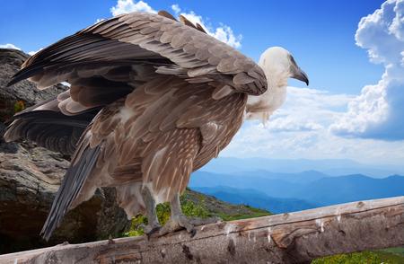 gyps: Griffon vulture (Gyps fulvus)  in wildness area