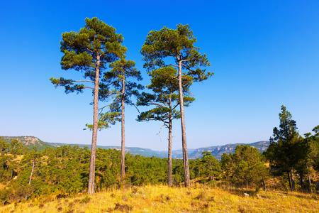 pine trees: Pine trees at mountains. Serrania de Cuenca, Spain