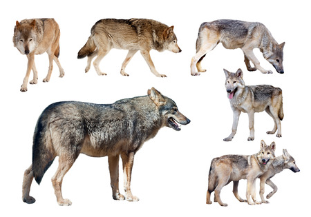 timber wolf: few wolves. Isolated  on white background