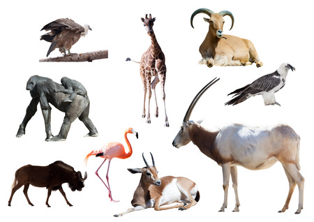 Oryx Scimitar  and other African animals. Isolated on white  photo