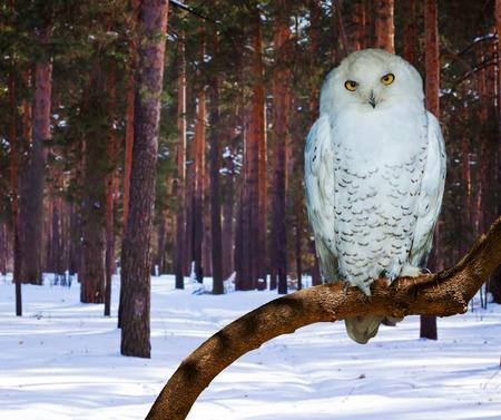 Snowy Owl (Bubo scandiacus) aan dennenbos in de winter