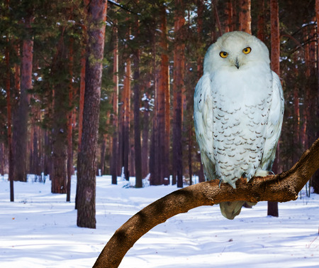 snowy owl: Snowy Owl (Bubo scandiacus) at pine forest in winter