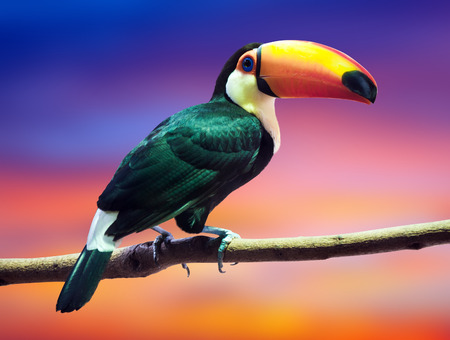 Toco Toucan against sunset sky background