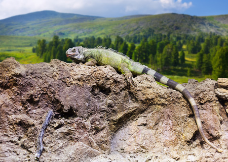 wildness:   Iguana on stone at wildness area
