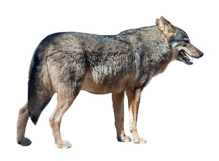 Iberian wolf (canis lupus signatus), isolated over white  photo