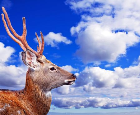 nippon: Head of Sika deer (Cervus nippon) against sunset sky
