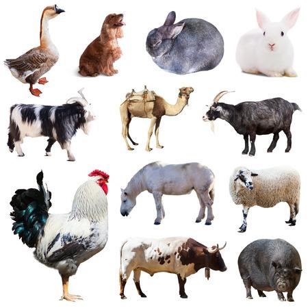 culo: Conjunto de gallo y otros animales de granja aislada sobre fondo blanco Foto de archivo