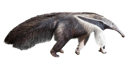 insectivorous: Giant anteater. Isolated over  white background