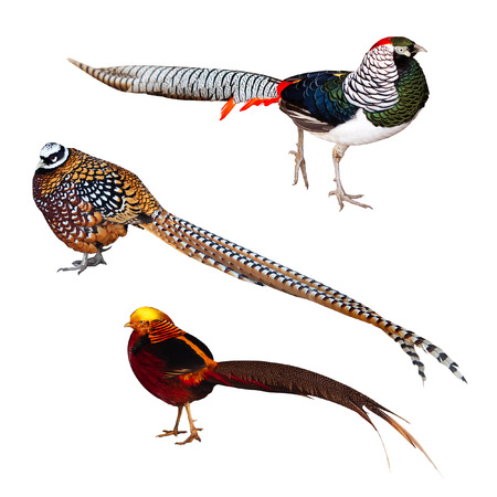 Set of Pheasant birds  Isolated over white background It photo