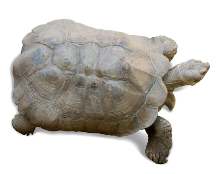 spurred:  African spurred tortoise (Geochelone sulcata) on white
