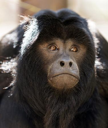 howler: Portrait of black howler monkey
