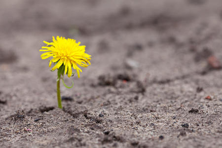 dandelion seed: Growing  yellow flower sprout in ground