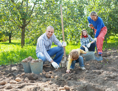 Happy family harvesting potatoes in vegetables garden photo
