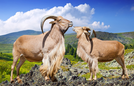 wildness: Standing couple of barbary sheeps  on rock in wildness area Stock Photo