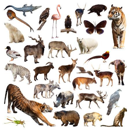 fauna: Fauna asi�tica. Aislado en el fondo blanco
