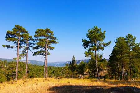 pine trees: Landscape with pine trees in the mountains
