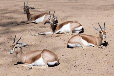 bovidae: Few sitting dorcas gazelles  on sand Stock Photo