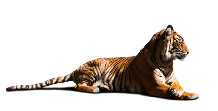 catamountain: Adult tiger. Isolated on white Stock Photo