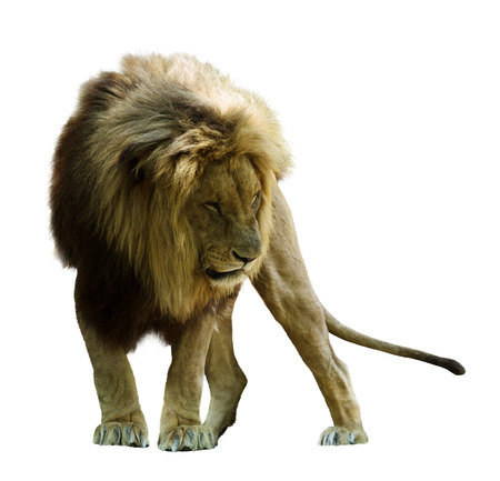 Standing lion. Isolated  on white photo
