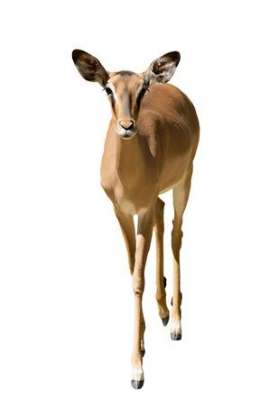 bovidae: Female impala (Aepyceros melampus), isolated on white