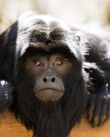 howler: Close up portrait of  howler monkey