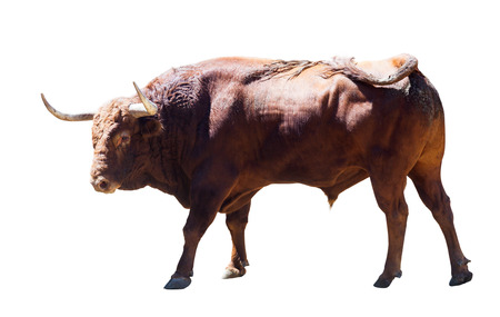 large bull, isolated over white background
