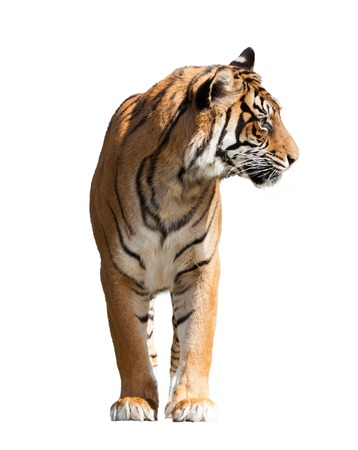 catamountain: Adult tiger. Isolated  over white background with shade Stock Photo