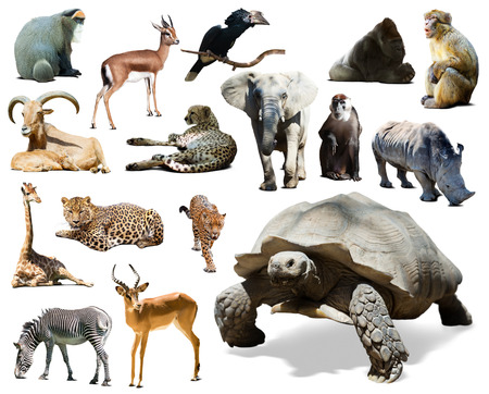 African tortoise and other African animals. Isolated over white background  photo