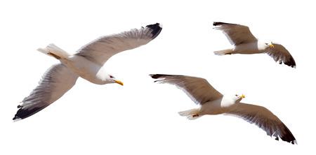 animal bird: Set of flying seagulls. Isolated over white  Stock Photo