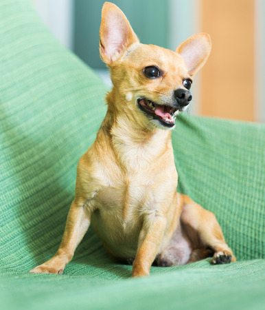 moscovian:  Russian Toy Terrier sitting on couch at home Stock Photo