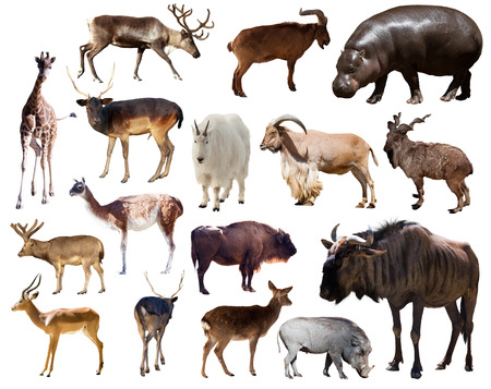 Set of blue wildebeest, hippo and other Artiodactyla mammal animals over white photo