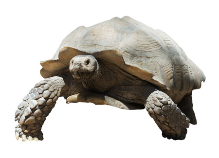 spurred:  African spurred tortoise, isolated over white background   Stock Photo