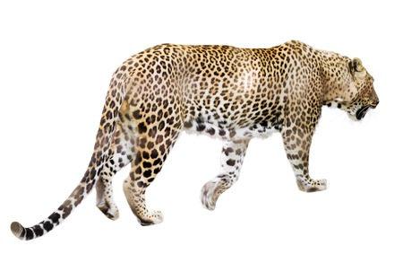 catamountain: Walking adult leopard  over white