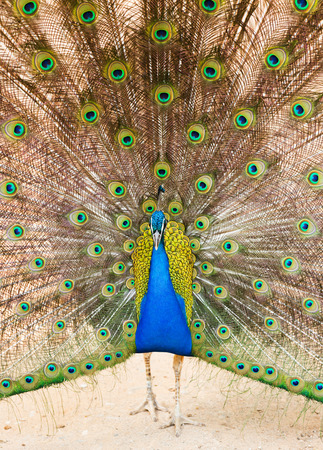 phasianidae:  Indian Peafowl with beautiful feather at tail