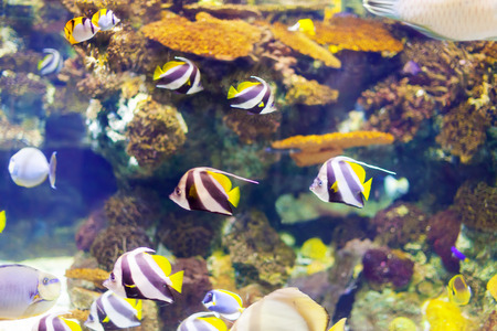 reefscape: tropical fish at coral reef in sea water