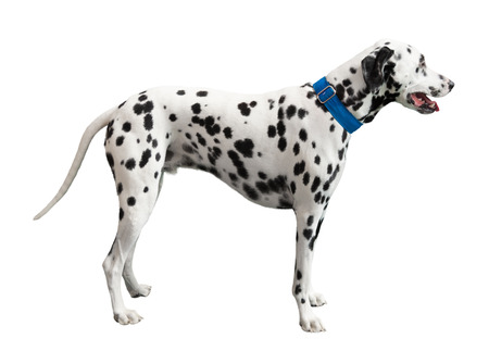 plum pudding: Black spotted Dalmatian, isolated on white Stock Photo