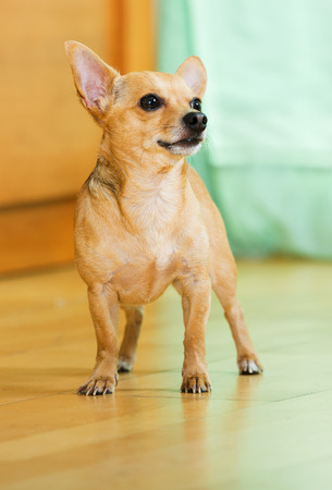 russkiy:  Russian Toy Terrier standing on the parquet floor