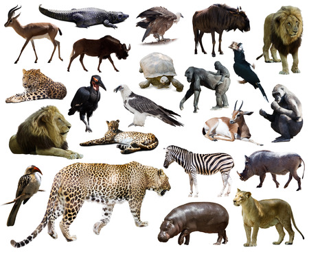 Set of  leopard and other African animals. Isolated over white background photo