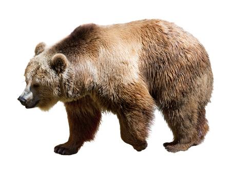 Seitenansicht des Bären. Isolierte über weißem Hintergrund