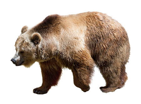 Side view of bear. Isolated  over white background