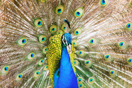 indian peafowl: Closeup of Male Indian Peafowl Stock Photo