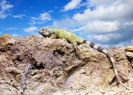 wildness: Green iguana on stone at wildness area against sky
