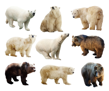 Set of bears. Isolated over white background photo