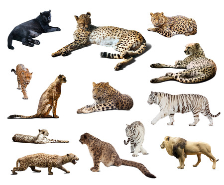 irbis: Set of Cheetah and other big wildcats. Isolated over white background  Stock Photo